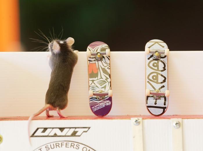 Австралиец научил грызунов кататься на досках   фото