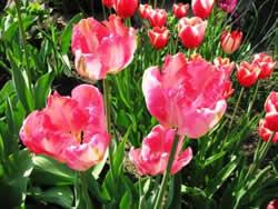 tulips4_w (250x188, 14Kb)