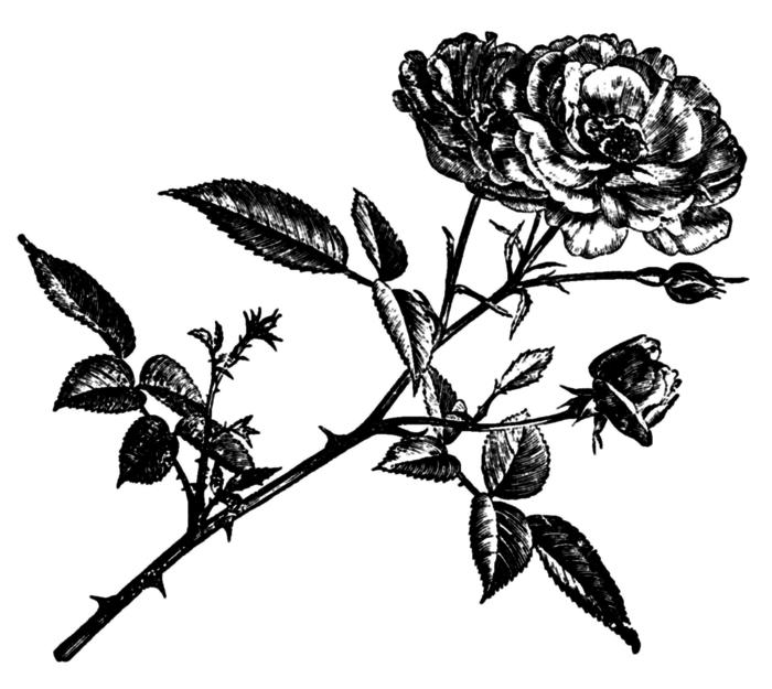 78846526_large_roses019 (700x625, 104Kb)