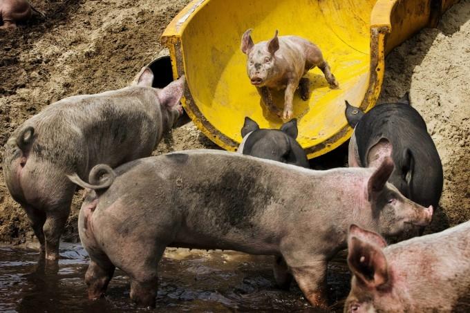 аквапарк для свиней в голландии 2 (680x453, 241Kb)
