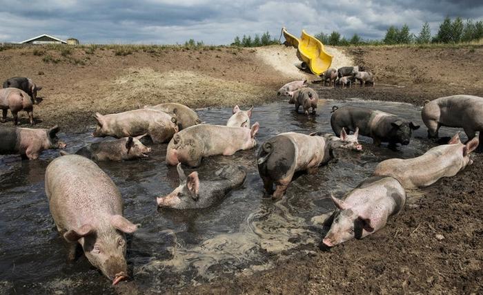 аквапарк для свиней в голландии 4 (700x427, 263Kb)