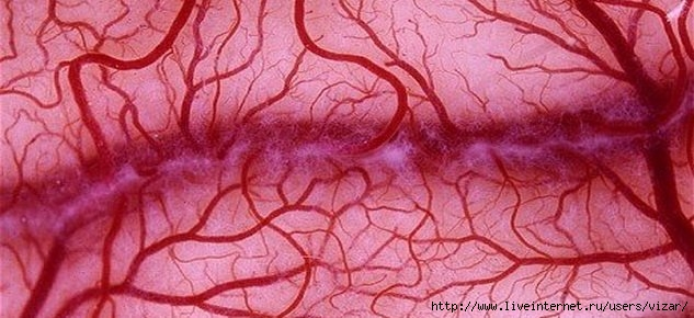 1366708799_blood-vessels-1 (633x290, 135Kb)