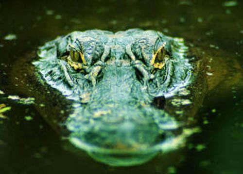 krokodil-12_small (500x359, 51Kb)