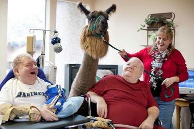 Терапия ламами на радость больным и пожилым людям