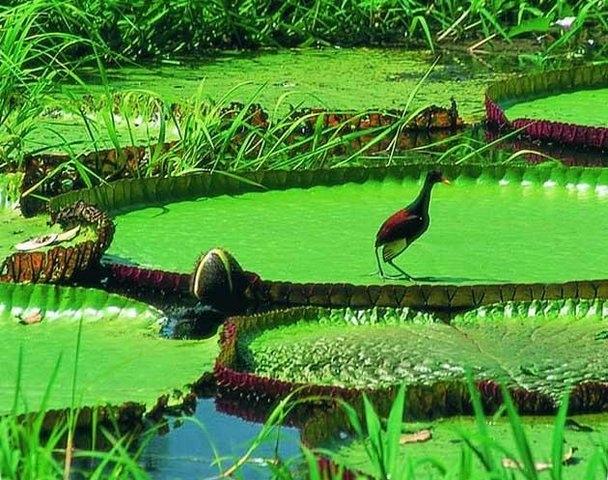 виктория амазонская фото 3 (608x480, 240Kb)
