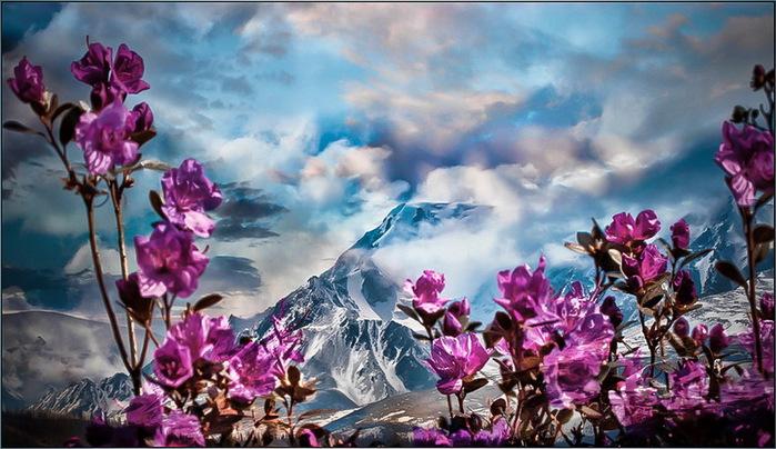Цветет маральник в горах... (700x404, 128Kb)