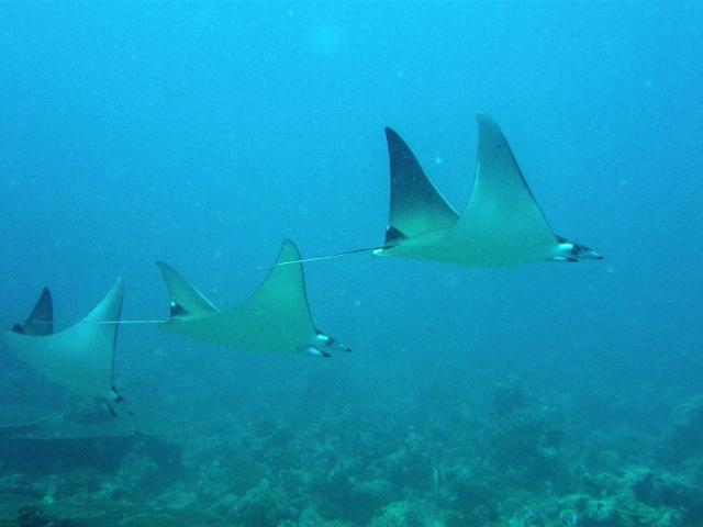 mobula-maldives-diving-review (640x480, 313Kb)