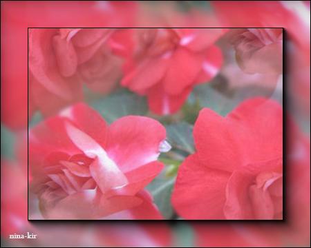 Розовые-розы (450x360, 179Kb)