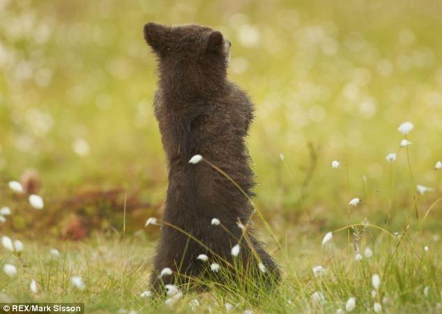 Медвежонок танцует известный Gangnam Style. Фотографии