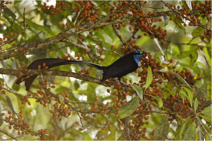 bird-paradise-027 (700x467, 440Kb)