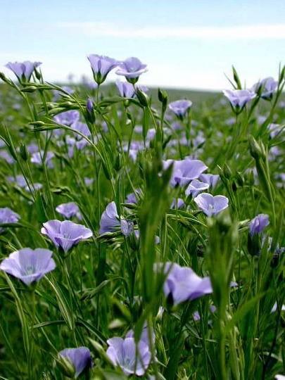 Как и зачем стоит использовать льняные семена и льняное масло/2565092_79885392_orig (405x540, 72Kb)