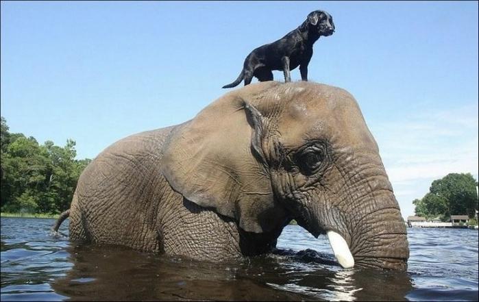 elephant_and_dog_001 (700x441, 203Kb)