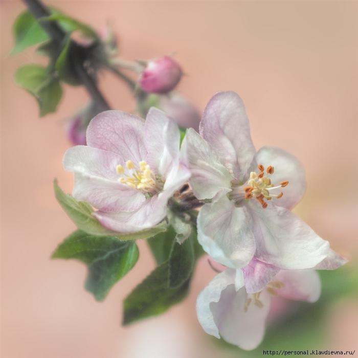 яблочки (700x700, 211Kb)