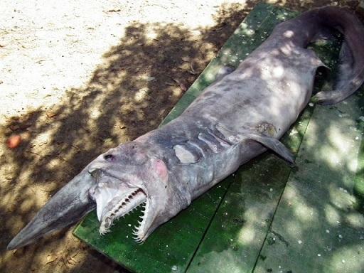 акула-домовой фото 5 (512x384, 221Kb)