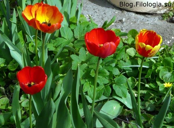 Красные тюльпаны./3241858_pobeda5 (600x440, 145Kb)