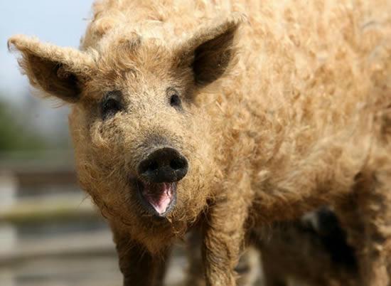 Картинки по запросу шерс свиня