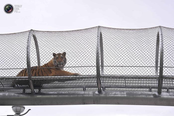 переход для кошек в зоопарке филадельфии 3 (700x465, 303Kb)