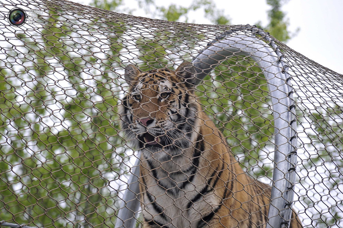 переход для кошек в зоопарке филадельфии 5 (700x465, 492Kb)