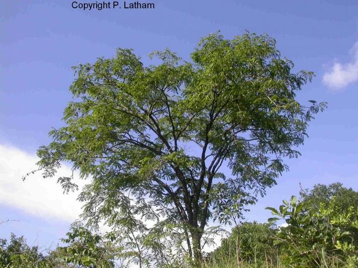 кровавое дерево фото 1 (700x525, 306Kb)