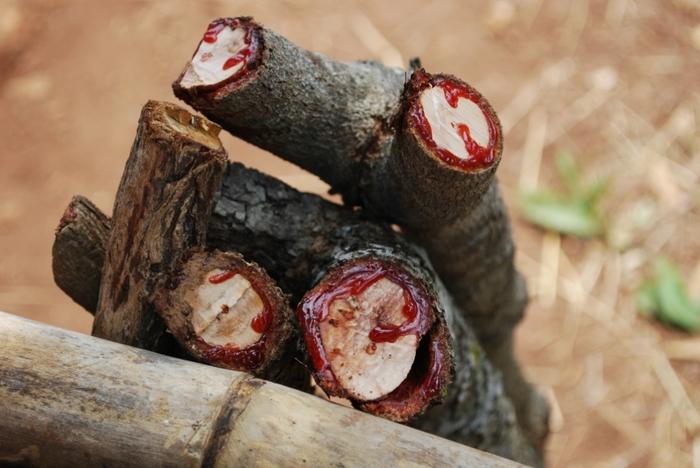 кровавое дерево фото 3 (700x468, 216Kb)