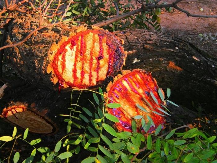 кровавое дерево фото 5 (700x525, 347Kb)