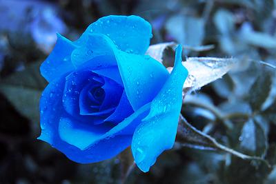 rose2 (400x267, 114Kb)