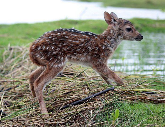 Baby-deer-in-Bangladesh-pixanews-5 (700x539, 87Kb)