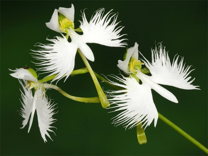 орхидея белая цапля Habenaria radiata фото 1 (680x510, 196Kb)