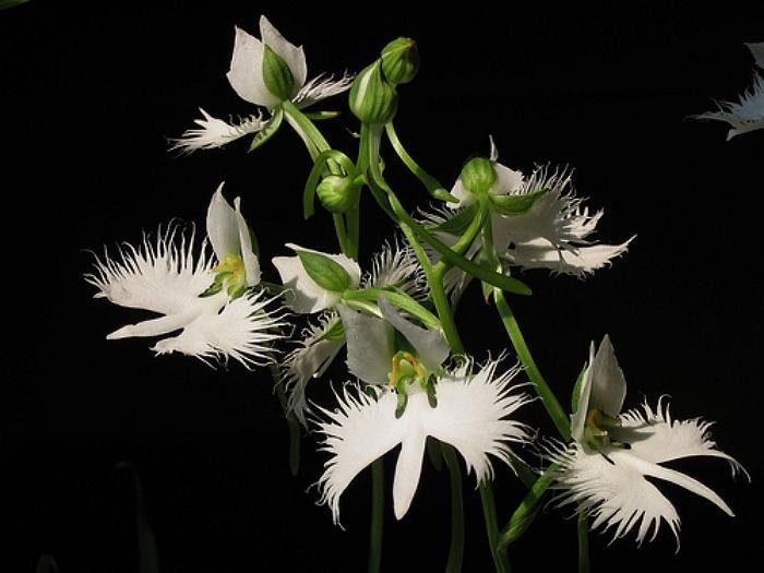 орхидея белая цапля Habenaria radiata фото 5 (700x525, 223Kb)
