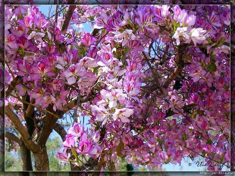 Баухиния орхидейное дерево!  YouTube