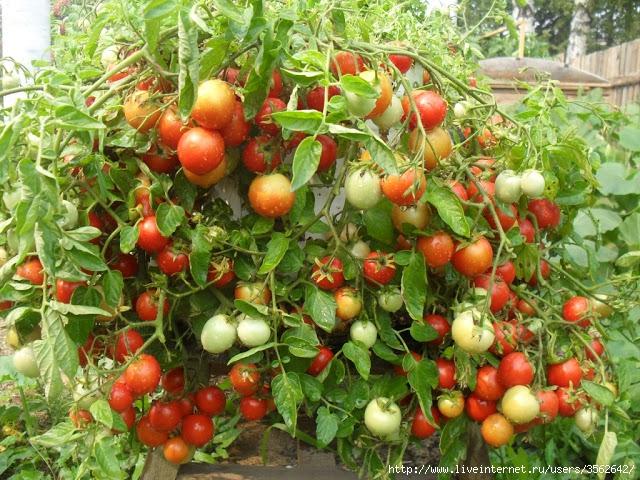 Нужны ли томатам пасынки (2) (640x480, 336Kb)