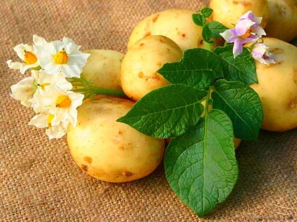 Картофель (604x453, 105Kb)