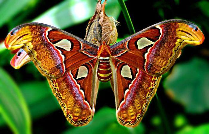 Attacus Atlas   самая большая в мире бабочка