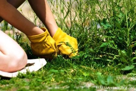 Как удалить сорняки с грядок навсегда