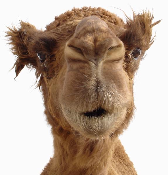 верблюд1 (574x600, 117Kb)