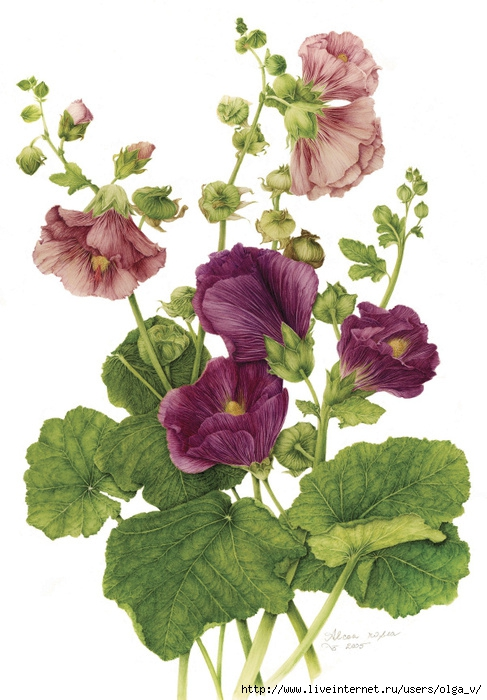 4964063_39hollyhock (487x700, 236Kb)
