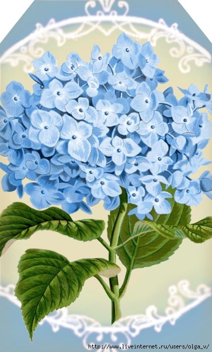 Hydrangea in blue 1 ~ tag 2.5 x 4.2 ~ lilac-n-lavender (421x700, 243Kb)