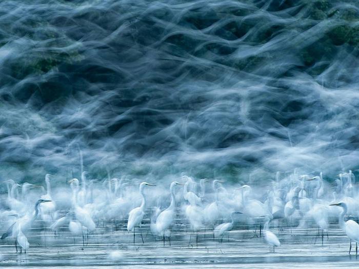 «В хороший день в поле птицелов может увидеть стаю птиц,» — пишет автор этой фото Река Цсимон, на которой сняты большие белые цапли в приливной зоне Дуная в Венгрии (700x524, 367Kb)