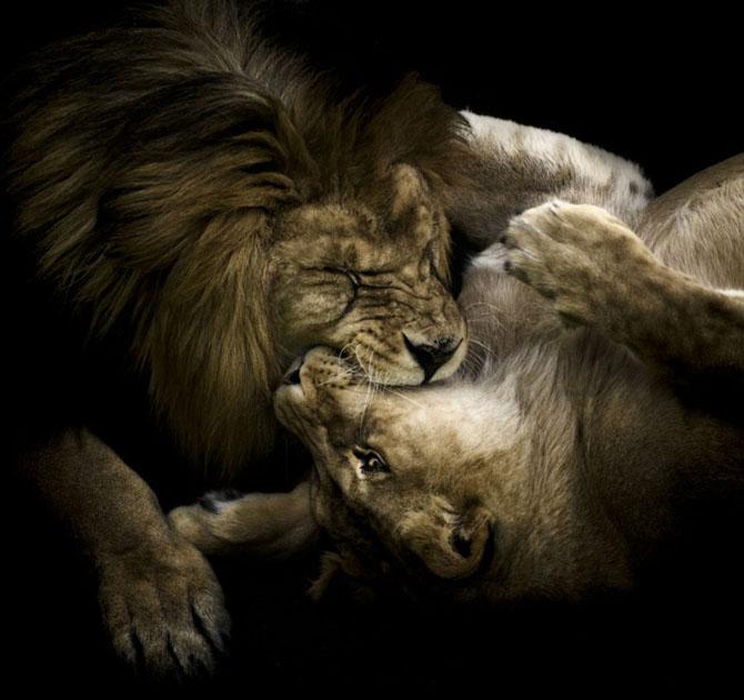 львы фото 5 (670x630, 206Kb)