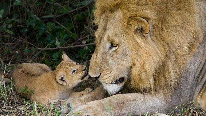львы фото 10 (670x377, 245Kb)