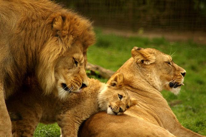 львы фото 12 (670x446, 238Kb)