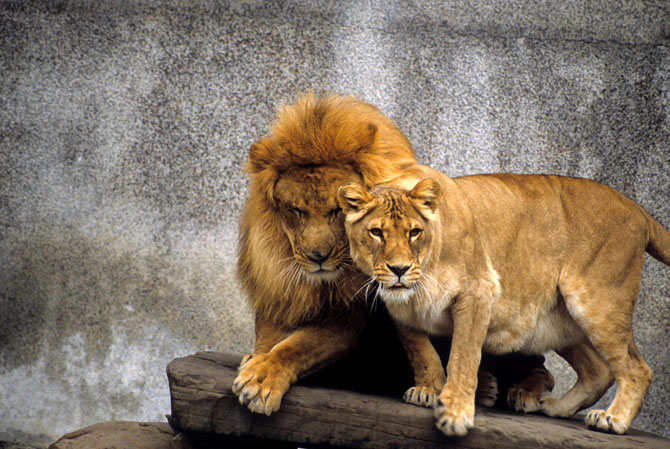 львы фото 18 (670x449, 286Kb)