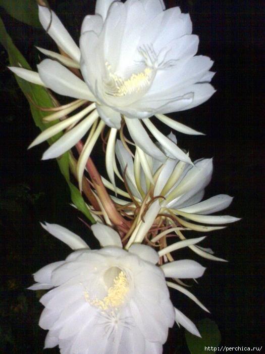 Небесные наки цветок