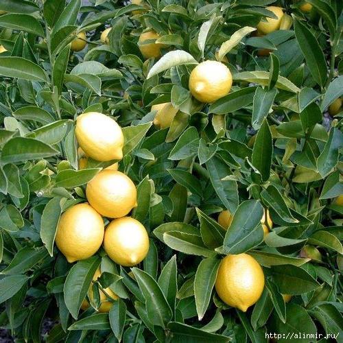 Лимон/5283370_limon (500x500, 258Kb)
