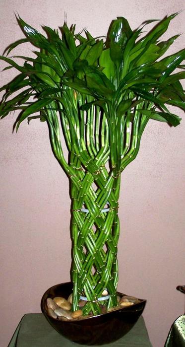 Комнатный бамбук. Красивые идеи и уход за бамбуком в воде (1) (373x700, 307Kb)