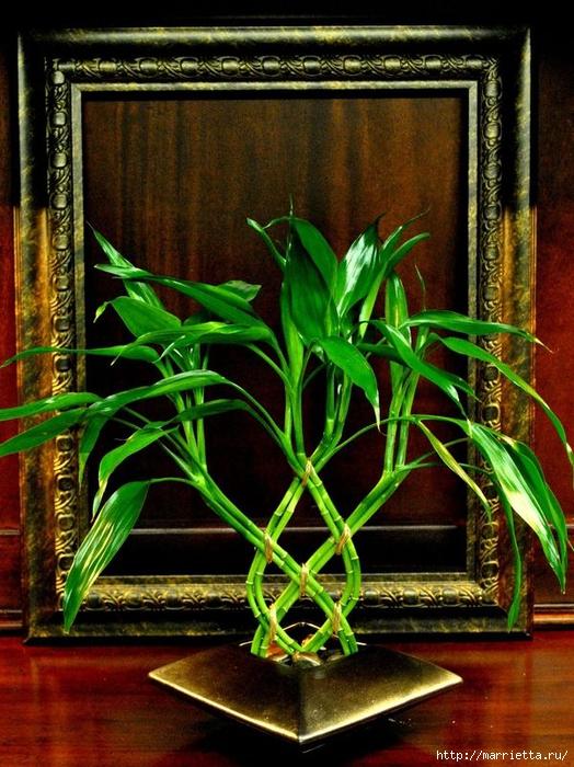 Комнатный бамбук. Красивые идеи и уход за бамбуком в воде (5) (524x700, 342Kb)