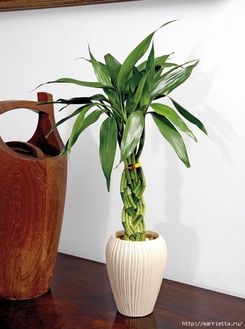 Комнатный бамбук. Красивые идеи и уход за бамбуком в воде (7) (490x658, 160Kb)