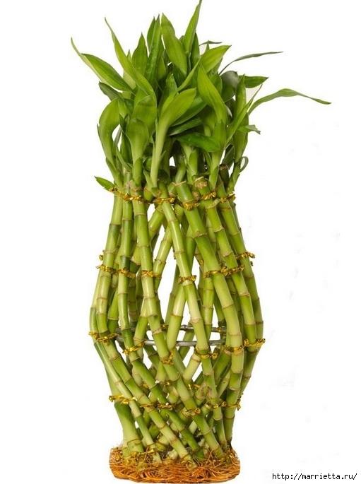 Комнатный бамбук. Красивые идеи и уход за бамбуком в воде (9) (511x685, 144Kb)