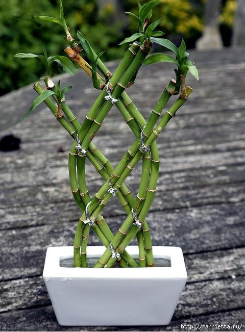 Комнатный бамбук. Красивые идеи и уход за бамбуком в воде (11) (480x651, 213Kb)