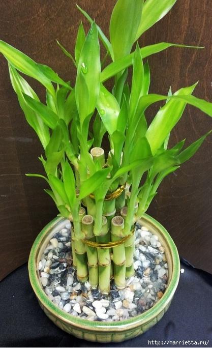 Комнатный бамбук. Красивые идеи и уход за бамбуком в воде (13) (417x684, 207Kb)